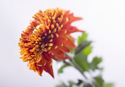 Nov 09 - Chrysanthemum