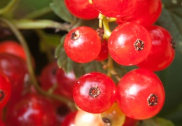 Jul 11 - Redcurrants
