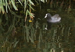 Oct 09 - Coot and reflection