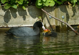 May 07 - Cute coots