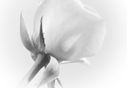 Nov 20 - White rose