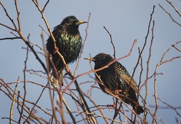 Mar 14 - Starlings