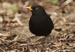 Apr 04 - Common blackbird