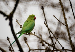 Apr 19 - Ring-necked parakeet