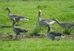 Apr 01 - Geese and goslings