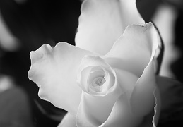 May 26 - White rose
