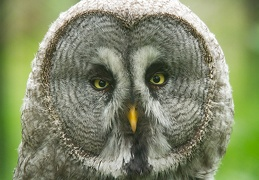 Jun 12 - Great grey owl