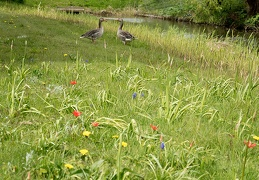 May 02 _ Flowers and geese