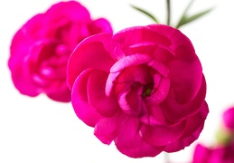 May 13 - Dianthus