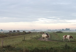 Oct 11 - Walking cows