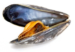 Sep 06 - Cooked mussel