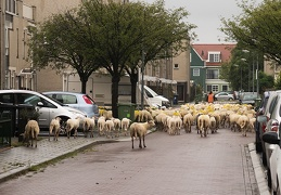 Sep 08 - Sheep in the city