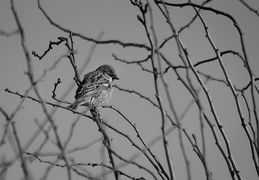 Mar 11 - A little sparrow