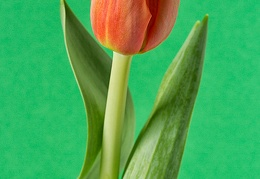 Mar 17 - One tulip