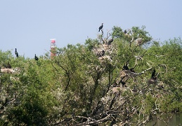 Jun 06 - Great cormorants
