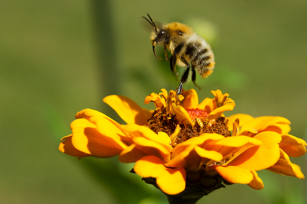 Sep 13 - Busy bee