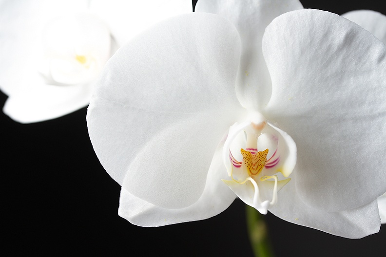 Blooming orchid and a black background.