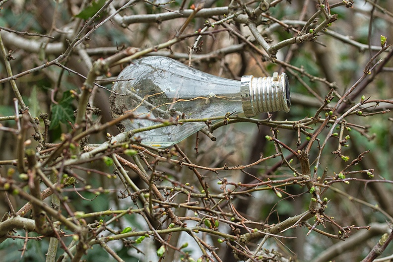 Solar powered bulb  and buds in my hedge