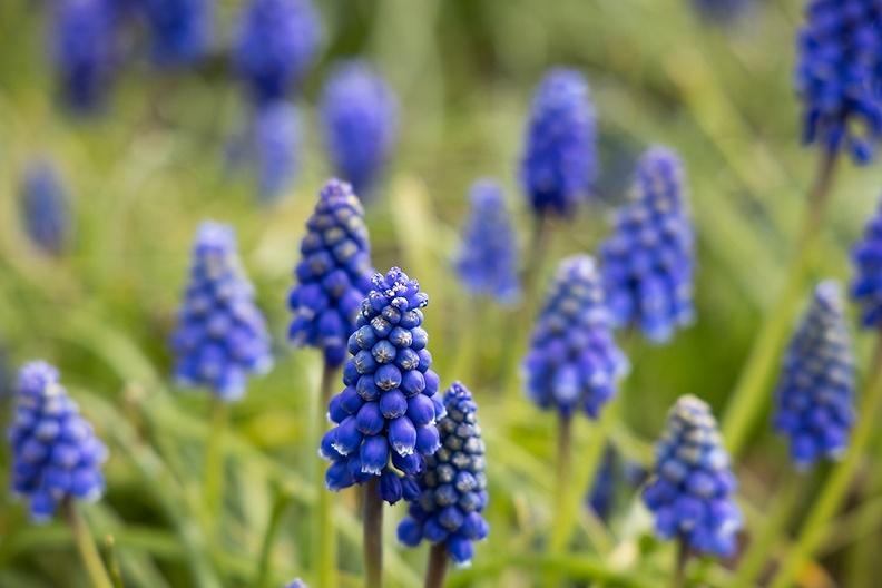 Grape hyacinths on a spring-like day