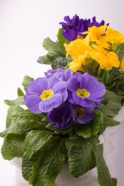 Too busy today with editing my photos of yesterday, so for today just a simple, but colorful photo of violets.