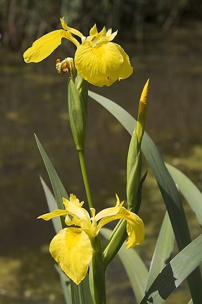 A yellow iris (Iris pseudacorus) in the water.