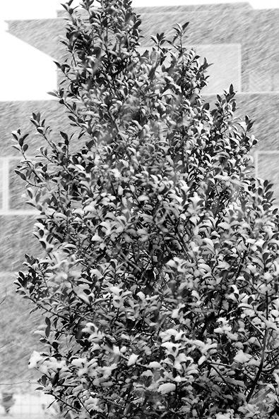 The holly tree in my backyard