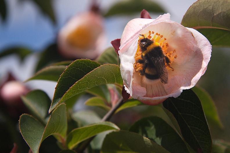 A bee inside a flower.