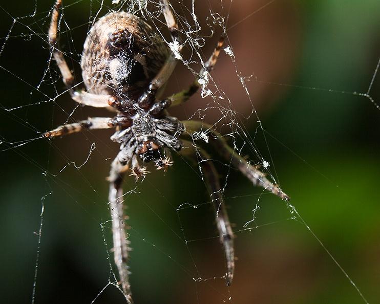 A spider behind her web