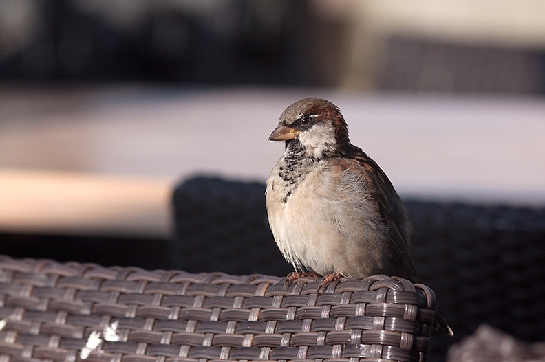 A sparrow near the beach. They like muffins!