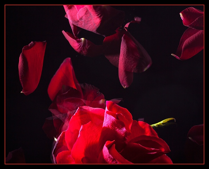 Strobe again. Falling rose leaves  (Need to buy new flowers for my wife tomorrow)