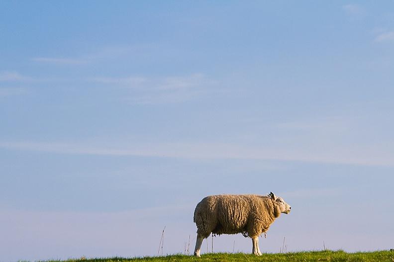 A sheep in the evening sun.