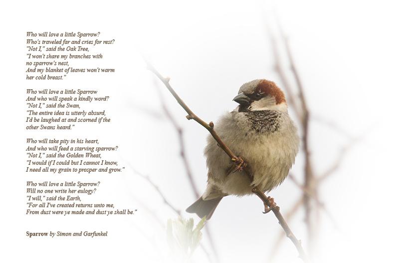 Young sparrow in my garden.
