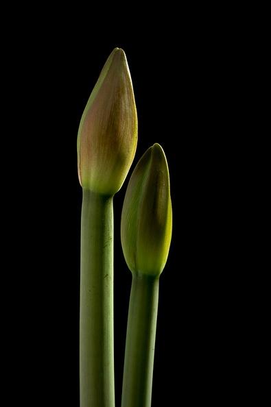 Start of some beautiful amaryllis