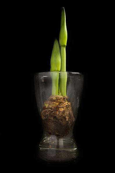 Week 3 of my amaryllis series:  It's still growing!