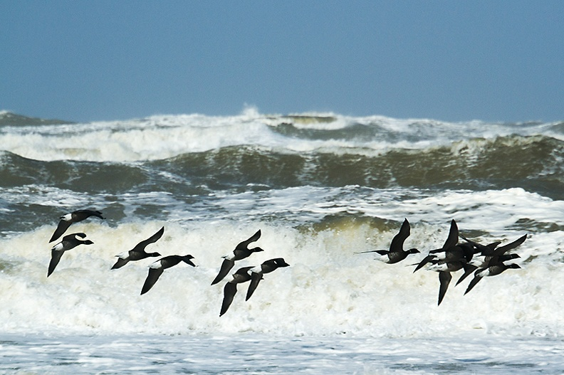 Flight of geese on a very windy beach this morning.