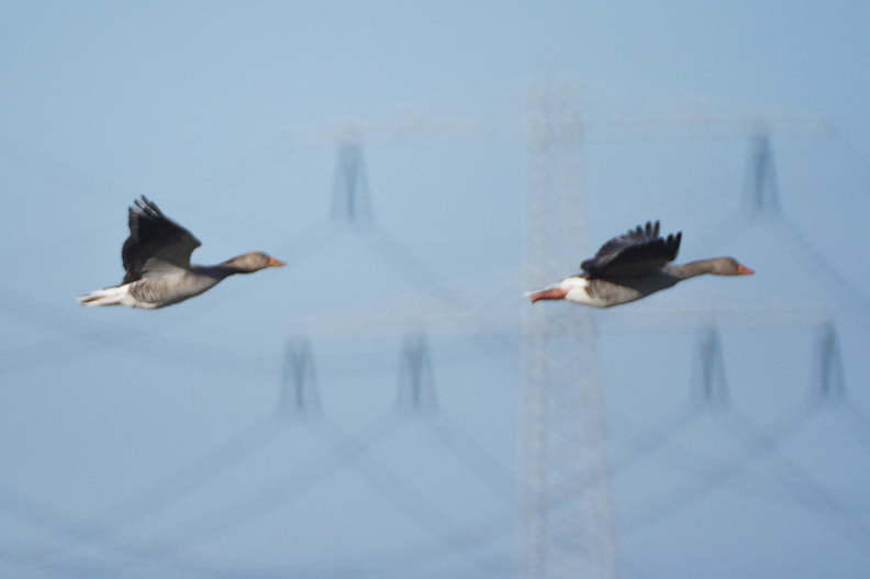 Greylag geese, not disturbed by the power lines.