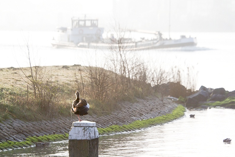 Made some nice bird photos today, but I like this morning view. On the ferry, on my way to work. Btw. An Egyptian goose in the front.