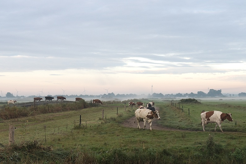 Almost the same place as yesterday. Less sun, less fog, but with cows.