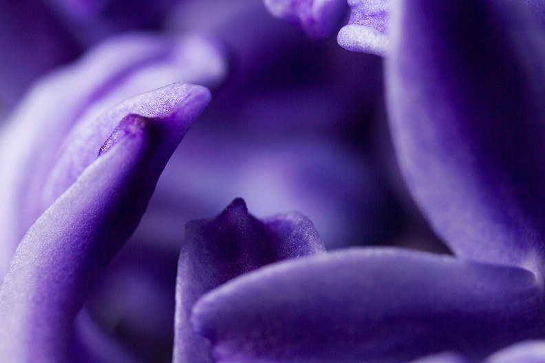 Close up of a wonderful smelling hyacinth