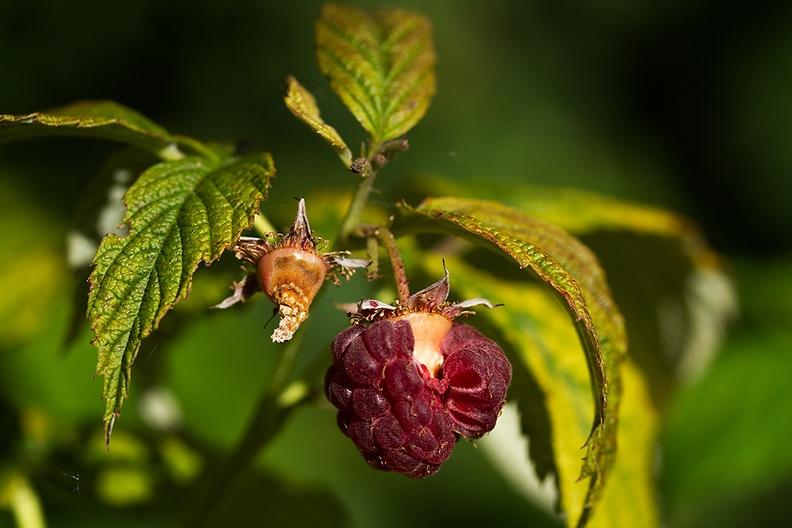 Old raspberry hanging in my garden