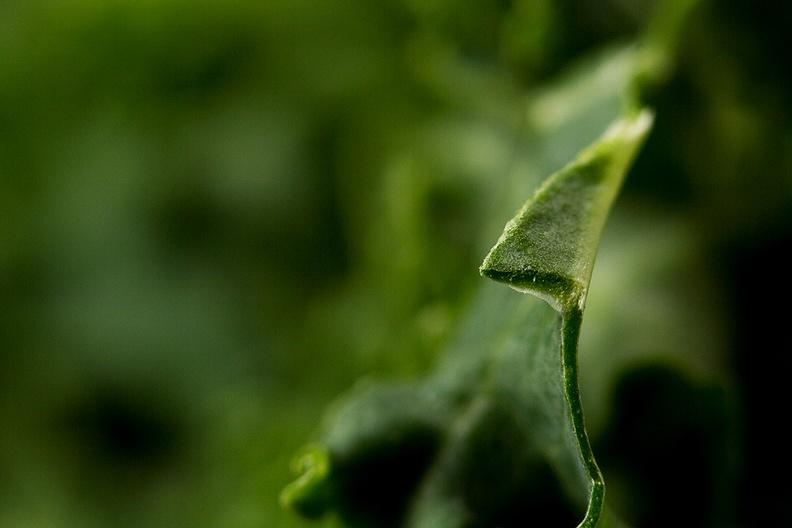 A cut kale detail