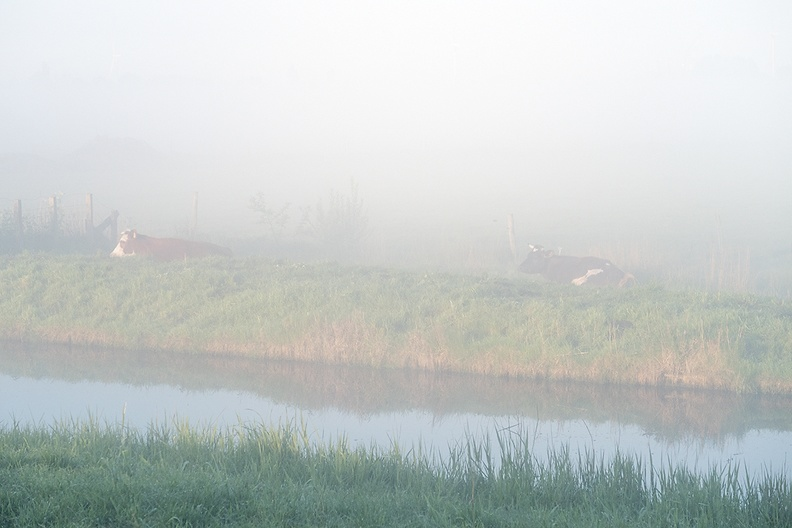 Cows in the early morning fog.
