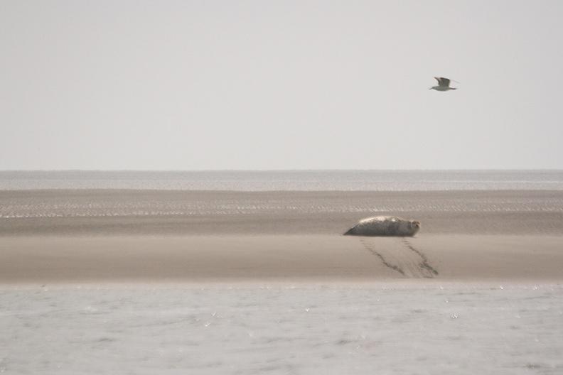 A seal on a sandbank (Simonszand)