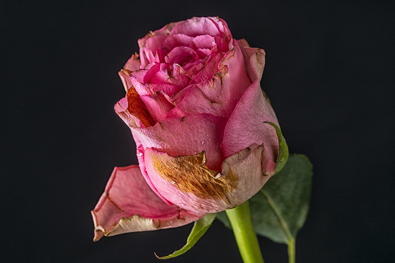 Old rose, almost gone