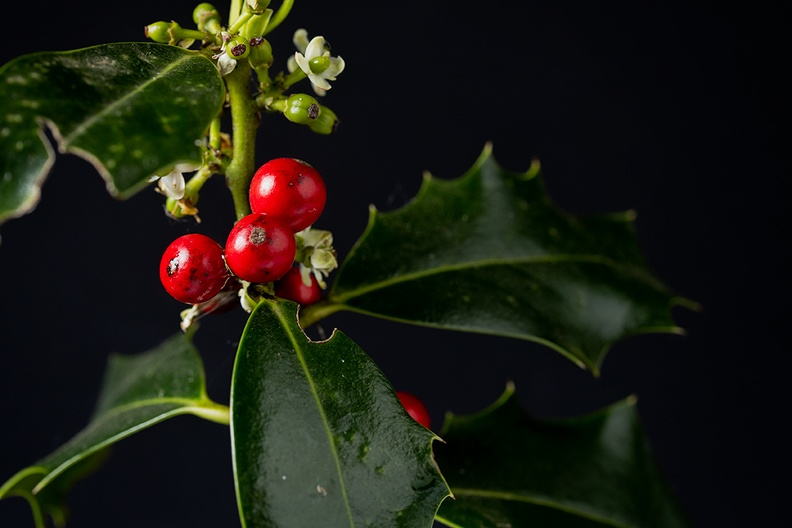 Holly. The flower, the berry and the leaf. Picked from my garden