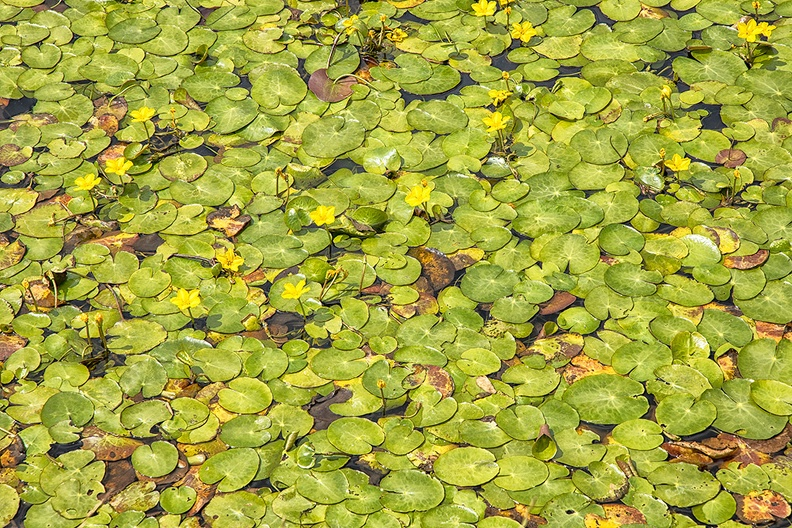 Water lilies on a sunny afternoon