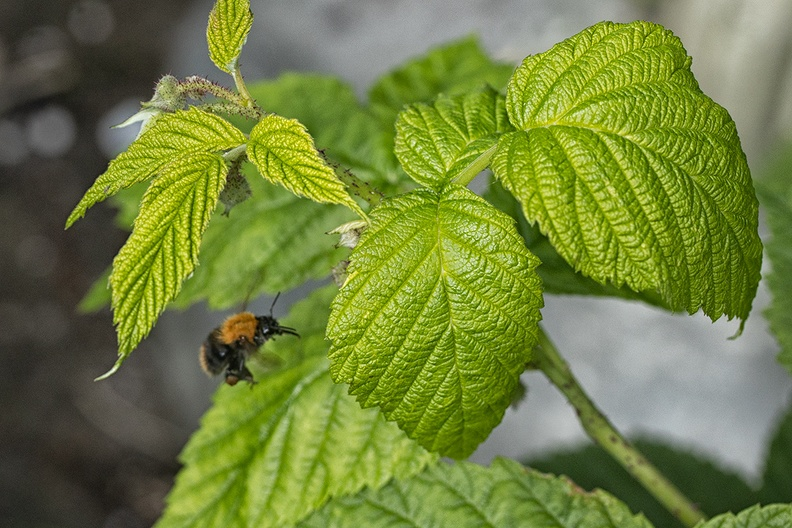 In my garden.  Raspberry leaves with a flying kind of bee.