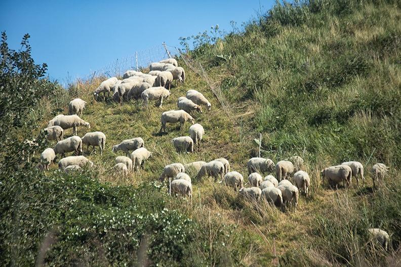 Sheep on a sunny afternoon walk