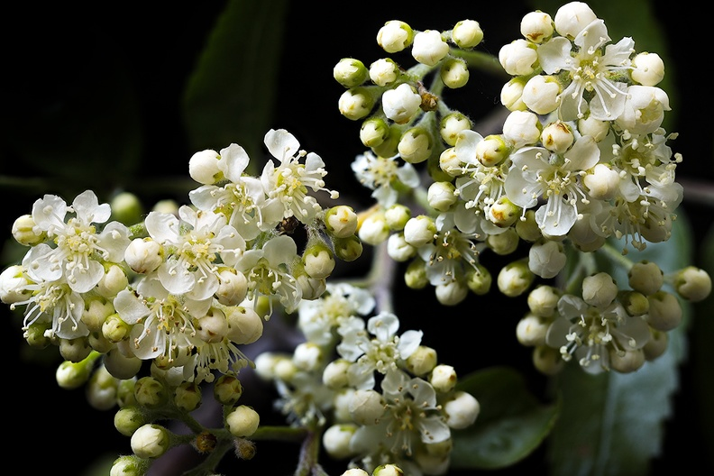 The start of a blooming hawthorn. Picked from my hedge
