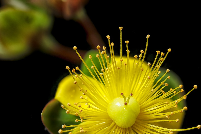 Detail of a yellow flower (from my garden)